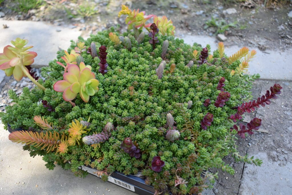 photo of sedum tile