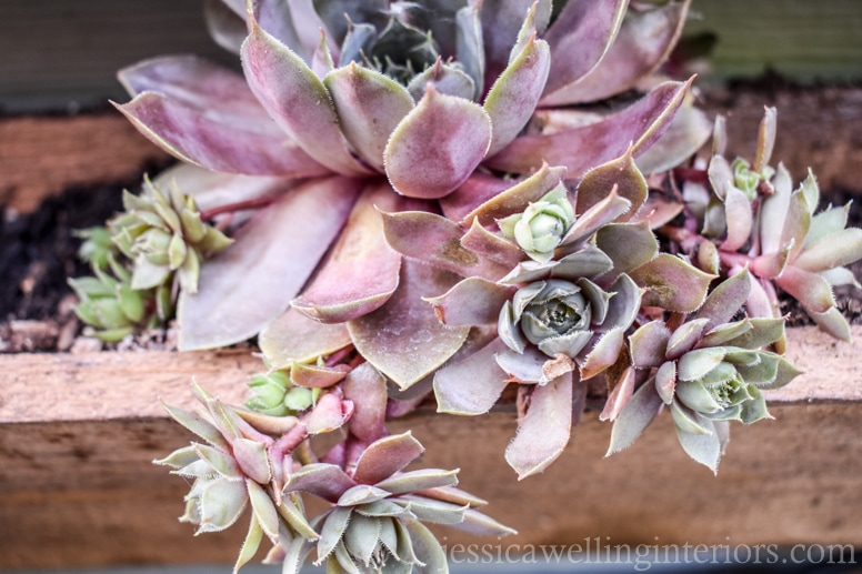 image of close-up hen and chicks plant in wood vertical garden