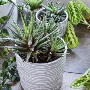 close-up of succulent in grey pot with white stripes