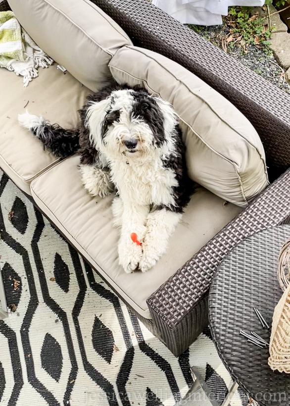 black and white sheepadoodle puppy sitting on an outdoor sofa on a patio